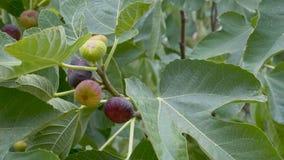 无花果成熟的果子在树的 股票视频