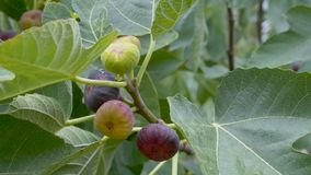 无花果成熟的果子在树的 影视素材
