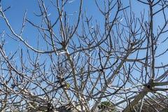 无花果树不生叶在冬天 库存照片
