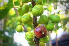 无花果树和它五颜六色的果子 免版税库存图片