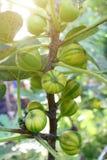 无花果树和它五颜六色的果子 免版税库存照片