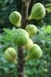 无花果树和它杂色的果子 免版税库存照片