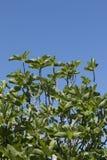 无花果树和蓝天 免版税库存图片