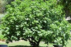 无花果树或Ficus Carica 库存图片