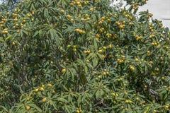 无花果树用果子在一个美好的区域在马耳他 免版税图库摄影