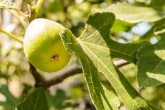 无花果树的果子 库存照片