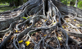 无花果树的根 免版税库存照片