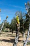无花果树的芽细节  免版税库存照片