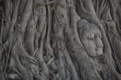 无花果树长满的菩萨顶头在阿尤特拉利夫雷斯历史公园位于的Wat Mahathat,著名古庙在泰国 免版税库存图片