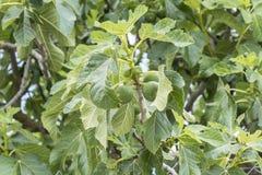 无花果树,叶子,未成熟的无花果 免版税库存图片