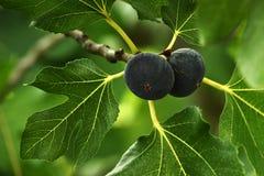 无花果树,托斯卡纳,意大利 免版税图库摄影