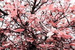 无花果树,自然的艺术性的颜色 免版税图库摄影