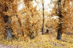 无花果树,自然的艺术性的颜色 图库摄影