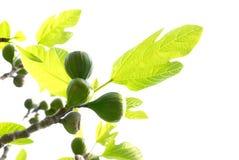 无花果树 免版税图库摄影