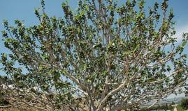 无花果树 库存照片
