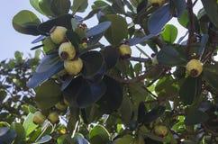 无花果rosea,亲笔树,copey,胶苦瓜,沥青苹果和刻痕律师,是热带和亚热带植物spec 免版税库存图片