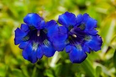 无茎的植物明亮的蓝色花接近的照片  库存照片