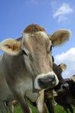 无角的母牛 库存照片