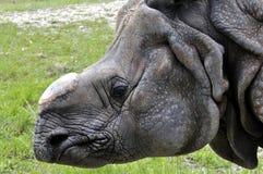 无角的犀牛 库存图片