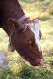 无角1头的母牛 库存照片