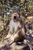 无边女帽与锋利的牙齿的短尾猿猴子 免版税库存图片