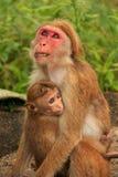 无边女帽短尾猿坐在洞寺庙的母亲和婴孩在Dambull 库存图片