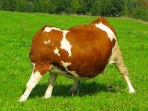 无首的母牛 免版税库存照片