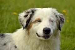 日伤,宠物健康在夏天 幼小澳大利亚牧羊犬 的aurore 如何保护您的狗免受过度加热 培训 库存照片