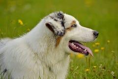 日伤,宠物健康在夏天 幼小澳大利亚牧羊犬 的aurore 如何保护您的狗免受过度加热 培训 免版税库存照片