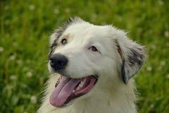 日伤,宠物健康在夏天 幼小澳大利亚牧羊犬 的aurore 如何保护您的狗免受过度加热 培训 免版税库存图片