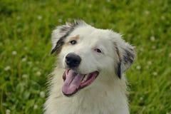 日伤,宠物健康在夏天 幼小澳大利亚牧羊犬 的aurore 如何保护您的狗免受过度加热 培训 库存图片