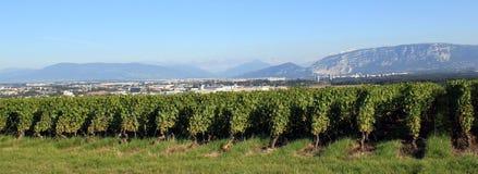 日内瓦瑞士葡萄园 库存照片