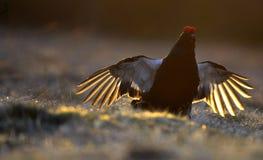 日出一只华美的lekking的黑松鸡(北欧产雷鸟类tetrix)的背后照明画象 库存照片