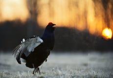 日出一只华美的lekking的黑松鸡(北欧产雷鸟类tetrix)的背后照明画象 免版税库存照片