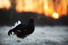 日出一只华美的lekking的黑松鸡(北欧产雷鸟类tetrix)的背后照明画象 免版税库存图片
