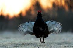日出一只华美的lekking的黑松鸡(北欧产雷鸟类tetrix)的背后照明画象 图库摄影