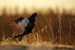 日出一只女性黑松鸡(北欧产雷鸟类tetrix)的背后照明画象 免版税库存照片