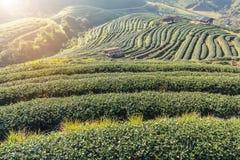日出与白色雾的早晨在绿色露台的茶园2000年土井Ang khang清迈泰国 库存照片