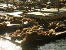 日出和封印在码头39 免版税图库摄影