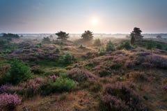 日出和开花的石南花在沙丘 库存图片