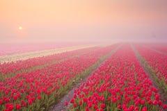 日出和雾在开花的郁金香,荷兰 库存照片