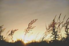 日出在太阳前面的植物剪影 免版税库存照片