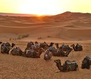日出在撒哈拉大沙漠 休息在转折前的一个小组one-humped骆驼 免版税库存图片