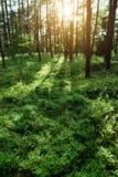 日出的杉木森林 苏格兰语或苏格兰松树松属太阳由后照的sylvestris树 库存图片