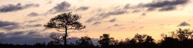 日出的横幅与一棵唯一杉树的 免版税图库摄影