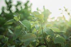 日出背景 秋天与绿色叶子和太阳火光的摘要背景 免版税图库摄影