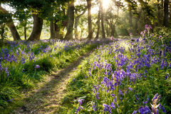 日出通过会开蓝色钟形花的草森林地 库存图片