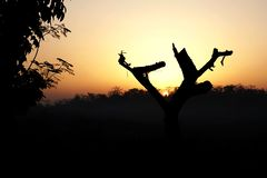 日出通过干燥和残破的树 免版税库存图片