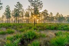 日出通过杉树立场  图库摄影