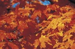 日出通过秋叶,新英格兰 库存图片